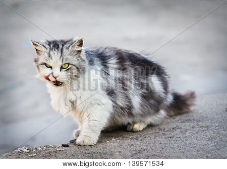 Gray homeless licking cat is looking at camera outdoors