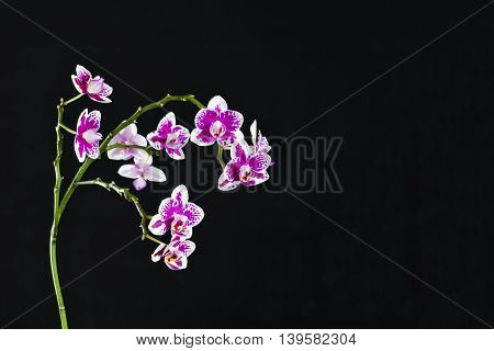 White And Purple Orchid Detail On Black Backdrop