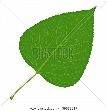 Green poplar leaf vector illustration isolated on a white background