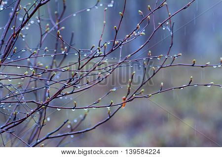 Fringe Of  Rain Drops And Mist On  Green Branches Of  Tree