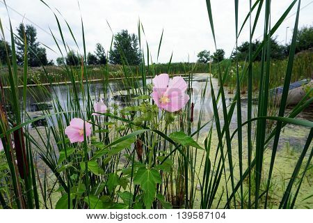 Halberd-leaved rose mallow (Hibiscus laevis) blooms among cattails in a swamp in Plainfield, Illinois during the Summer.