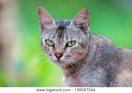 Portrait of a cat or Felis catus in Kerala, India