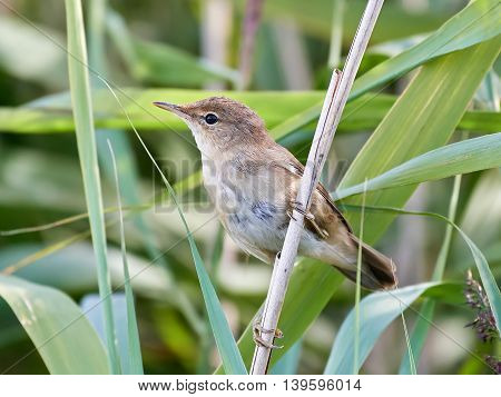 Eurasian reed warbler (Acrocephalus scirpaceus) resting on a branch with vegetation in the background