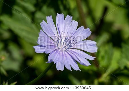 Medicinal plant common chicory (Cichorium intybus) in natural habitat (close-up). The roots of chicory are used as a coffee substitute. Selective focus shallow depth of field