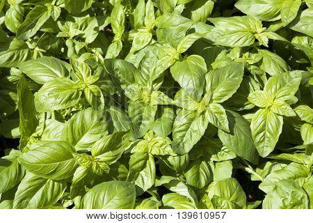 Green fragrant basil background in a summer garden