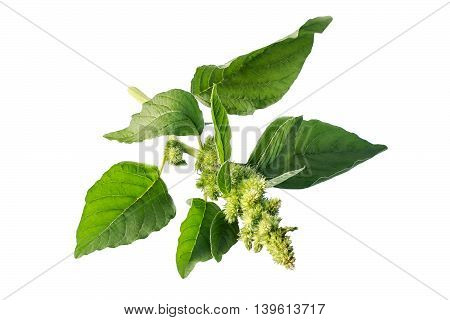 Redroot pigweed (Amaranthus retroflexus) also called red-root amaranth red-rooted pigweed common amaranth pigweed amaranth common tumbleweed isolated on white background. Used in herbal medicine healthy eating
