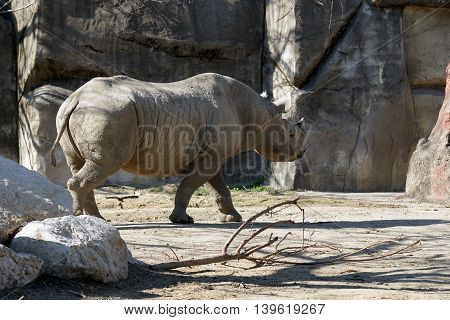 A black rhinoceros (Diceros bicornis) walks slowly to the right.