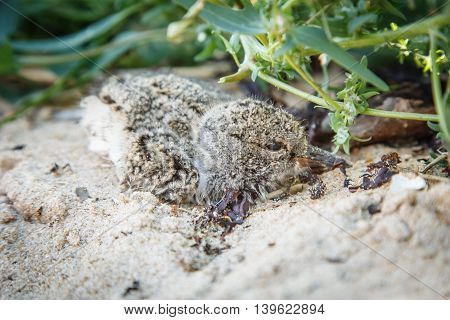 Oystercatcher cub hiding in the sand on the seashore