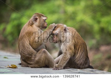 A Brown Monkey Checking For Fleas And Ticks In The Female