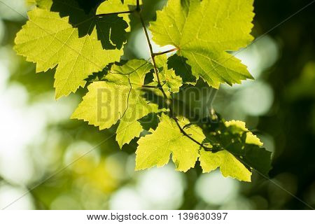 Fresh Green Grapes Vine On Bokeh Background