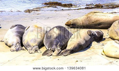 Hugging Young Male Sea Lions At The Sandy Beach Relax