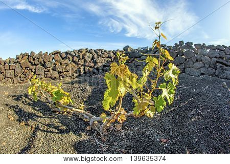 Vineyard In Lanzarote Island, Growing On Volcanic Soil