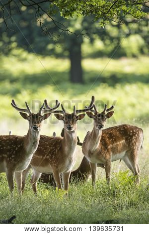 Group Of Young Fallow Deer Dama Dama Stags In Countryside Landscape