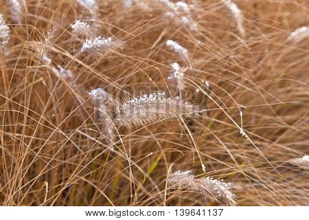 pampa grass in winter with ice corns in the head