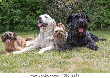 Crossbreed dog Giant Black Schnauzer Yorkshire Terrier and Golden Retriever dogs are lying on the lawn. Dogs are facing the camera and all have a protruding tongue.