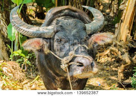 Close up face shot of a buffalo