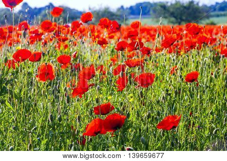 Colorful Red Poppy Flowers In The Meadow