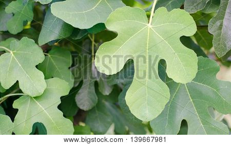 Close up of a single fig leaf on a fig tree
