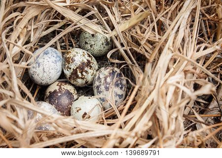 a nest with eggs of the birds from hay shot closeup