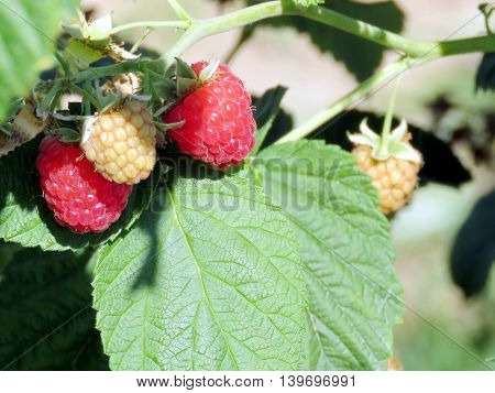 The raspberry bush on field of the Whittamore's Farm in Markham Ontario 23 July 2016 Canada