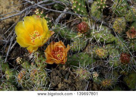 A Cactus in Bloom in Kamloops, British Columbia