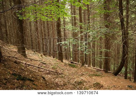 Sunlight in the woods, trees in a lush green forest in summer