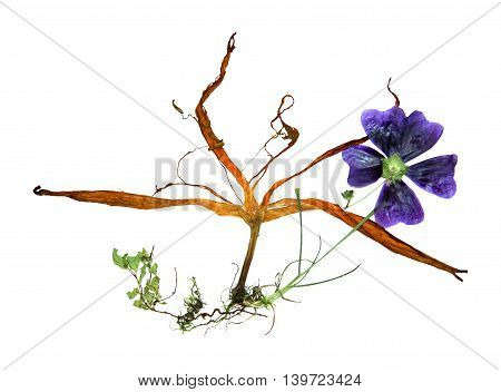 bizarre curved extruded dried lily petals. pressed hollyhock flower bright blue. Small green leaves fine roots