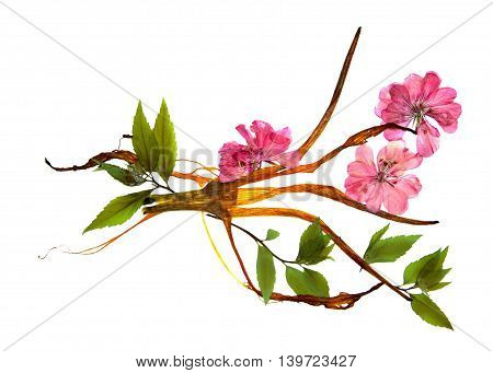 bizarre curved extruded dried lily petals. pressed delicate flower geranium pink. Small green leaves