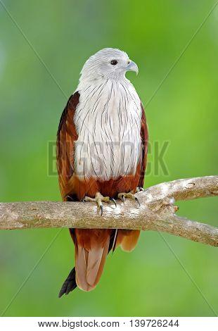 Brahminy Kite Red backed sea eagle Haliastur indus