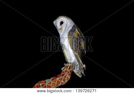 Barn Owl Tyto alba Night scene Birds of Thailand