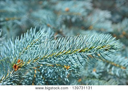 Branch of blue spruce in bright sunlight in summertime