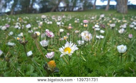small daisies in this big spain world