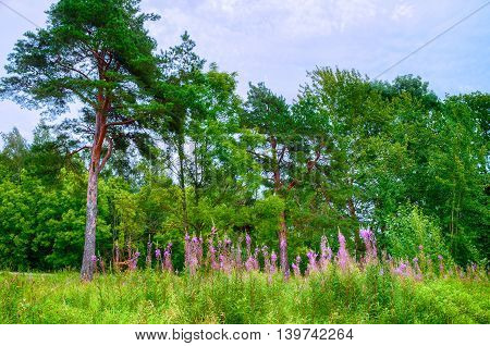 Summer forest landscape in cloudy weather -pine trees under dramatic sky and pink willow herb on the foreground. Picturesque summer landscape view of summer forest nature. Soft focus applied.