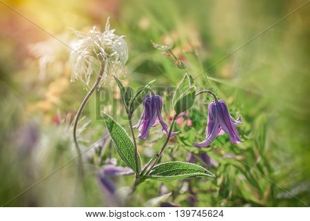 Purple flowers and other flowers in meadow close up