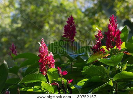 Flowers of a Brazilian Red Cloak (Megaskepasma erythrochlamys) in South Florida