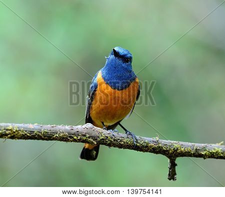 Beautiful Blue Bird, The Blue-fronted Redstart (phoenicurus Frontalis) Perching On The Branch Showin