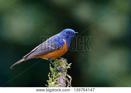Beautiful Blue Bird, The Blue-fronted Redstart (phoenicurus Frontalis) Perching On Top Of Wooden Sti