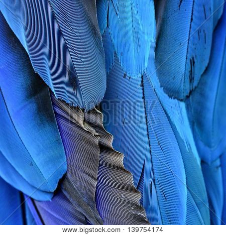 Beautiful Blue Background, Feathers Of The Blue-and-yellow Macaw (ara Ararauna) In Close Up