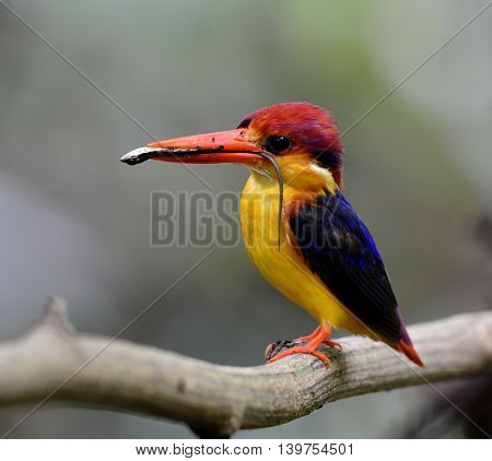 Black-backed Kingfisher (ceyx Erithaca) A Vivid Red Abd Orange Bird With Dark Blue On Its Wings Perc