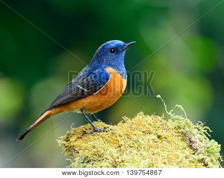 Blue Bird With Orange Belly, The Blue-fronted Redstart (phoenicurus Frontalis) Standing On The Mossy