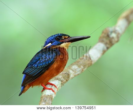 Blue-eared Kingfisher (alcedo Meninting) The Little Chubby Blue Bird Perching On The Branch On Fine