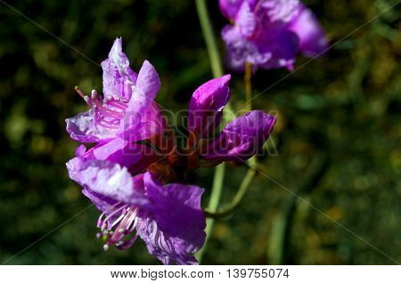A vibrant spring flower called a rhododendrons or azaleas.