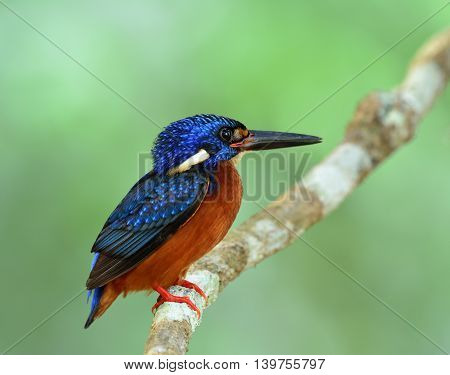 Fat Blue Bird Perching On The Branch On Fine Green Blur Background, The Male Of Blue-eared Kingfishe