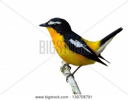 Male Of Yellow-rumped Flycatcher (ficedula Zanthopygia) The Beautiful Yellow Bird Wagging Its Tail I