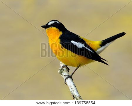 Male Of Yellow-rumped Flycatcher, Korean Flycatcher Or Tricolor Flycatcher (ficedula Zanthopygia) Th
