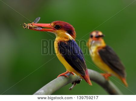 Parents Of Black-backed Kingfisher (ceyx Erithaca) Carrying Insect Food To Feed Their Chicks In The