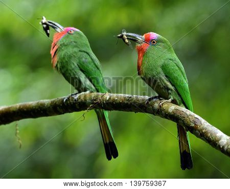 Parents Of Red-bearded Bee-eater (nyctyornis Amictus) Beautiful Green Bird With Red And Pink Mustach