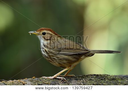 Puff-throated Babbler (pellorneum Ruficeps) The Beautiful Brown Birds Standing On The Log With Plent