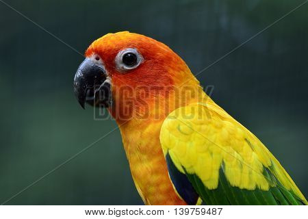 Portrait Of Sun Parakeet Or Sun Conure (aratinga Solstitialis) The Lovely Yellow Parrot Birdwith Mov