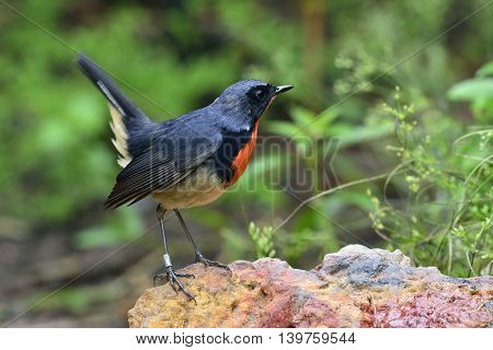 Red Neck Bird, Firethroat (luscinia Pectardens) The Beautiful Grey And Blue Bird With Fire Corlor On